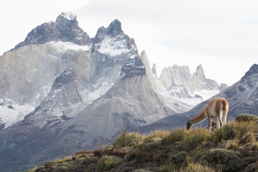 Chile; Province: Magellanes & Antarctica; National Park: Torres del Paine. Guanaco (Lama Guanicoe) beneath The Horns of the Paine Massif.